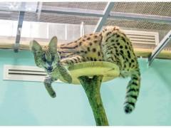 """从外来物种薮猫的""""新生活""""看北京生物多样性保护"""